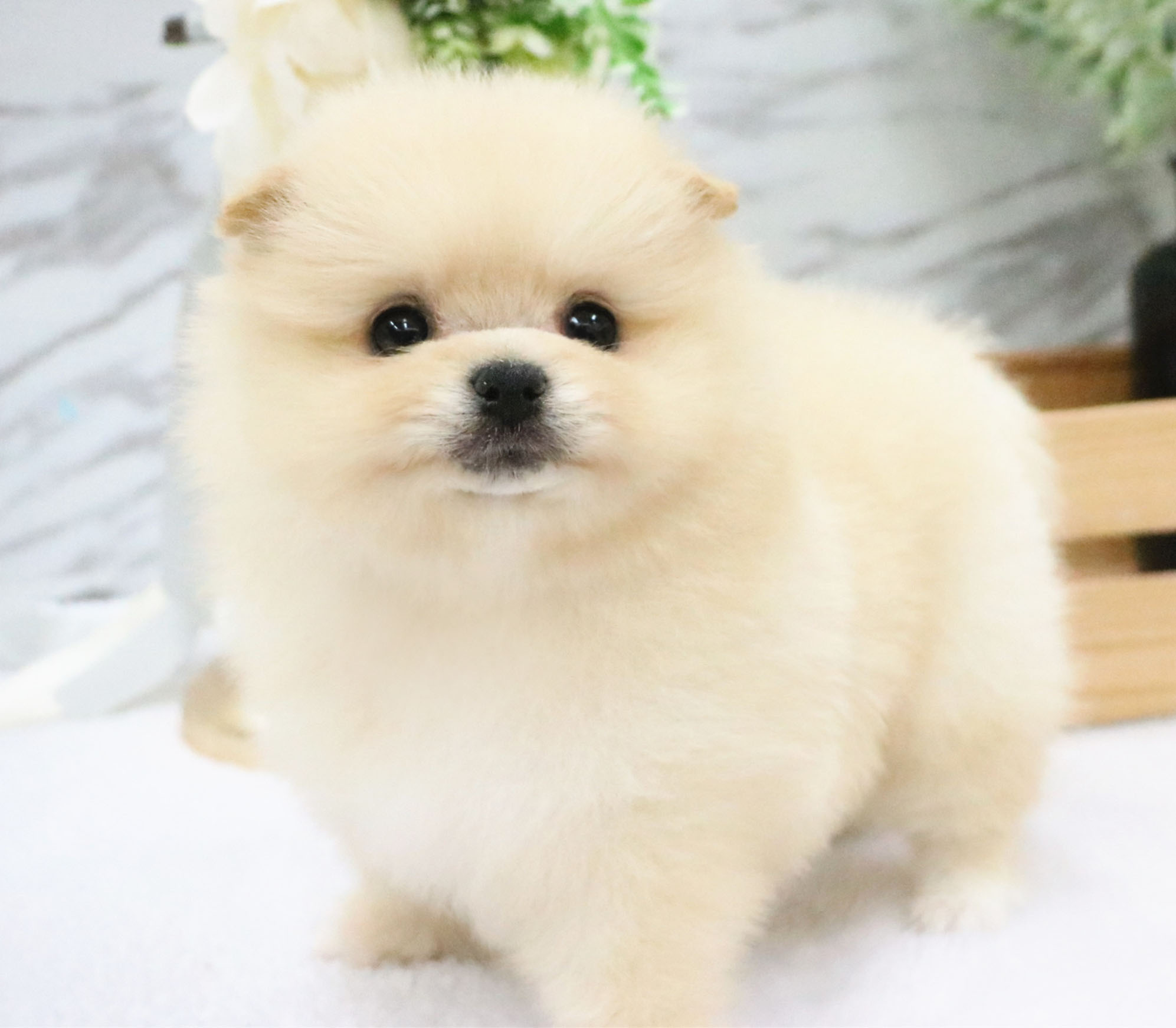 Sy Teacup Puppyfor Me