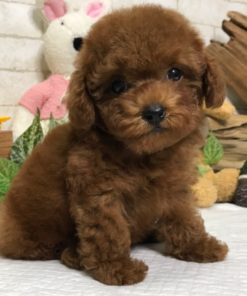 Red Toy Poodle - Mattie