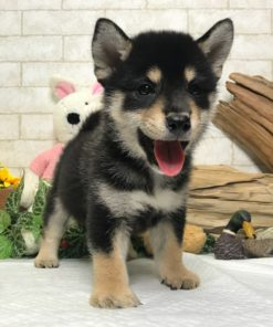 Black and Tan Shiba Inu - Lila