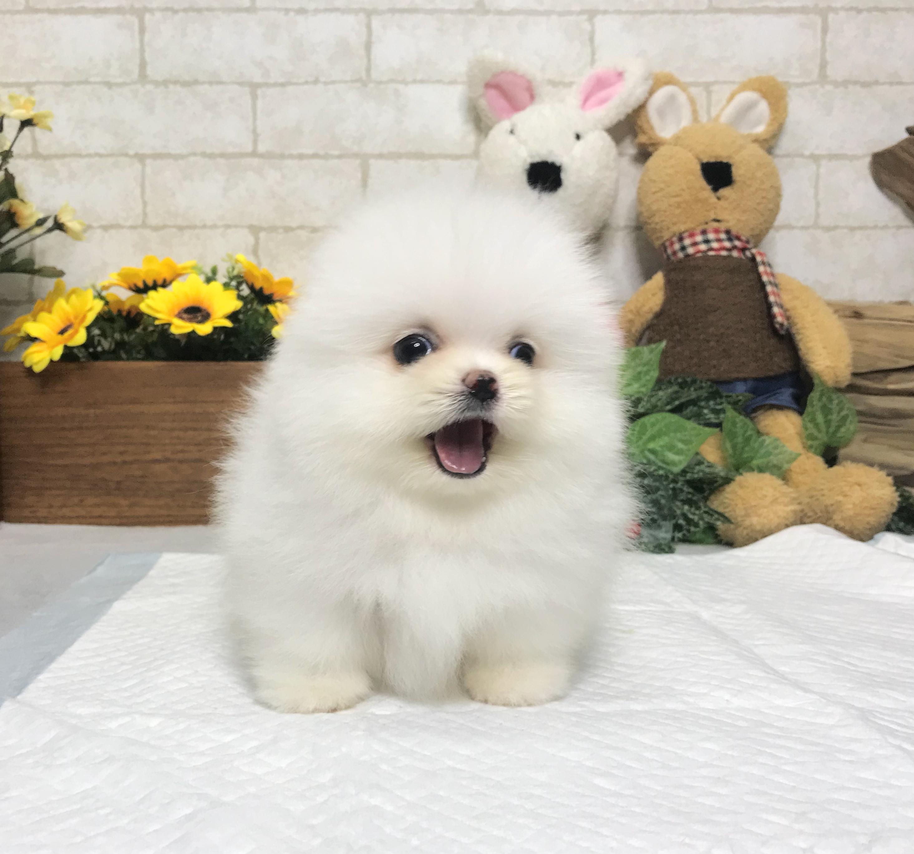 White Pomeranian - Harper