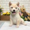 Cream White Shiba Inu - Vincent