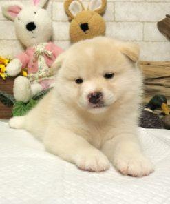 Cream White Shiba Inu - Bandit