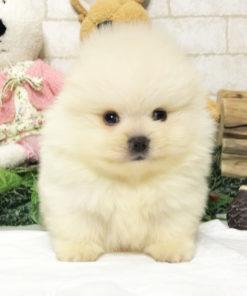 White Pomeranian - Pookie