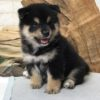 Black and Tan Shiba Inu - Theo