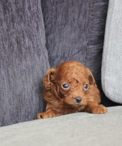 Red Teacup Poodle Billy - Puppyfor.me