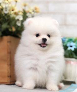 White Pomeranian - Colin