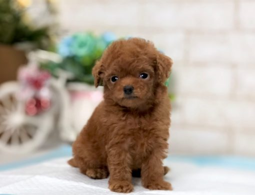 Red Teacup Poodle - Maryann