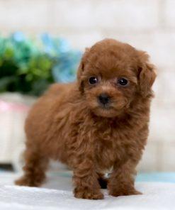 Red Teacup Poodle - Veronica